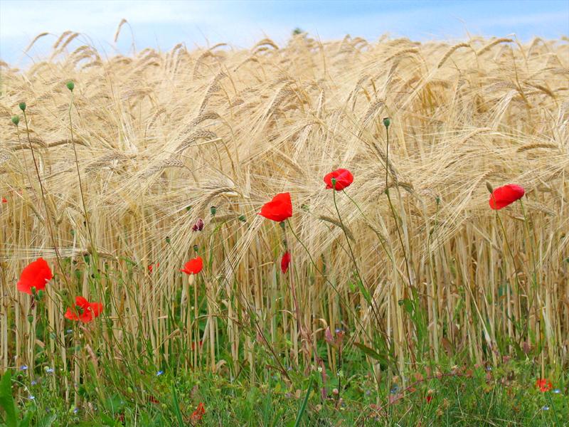 Getreidefeld in Hülben mit Mohnblumen