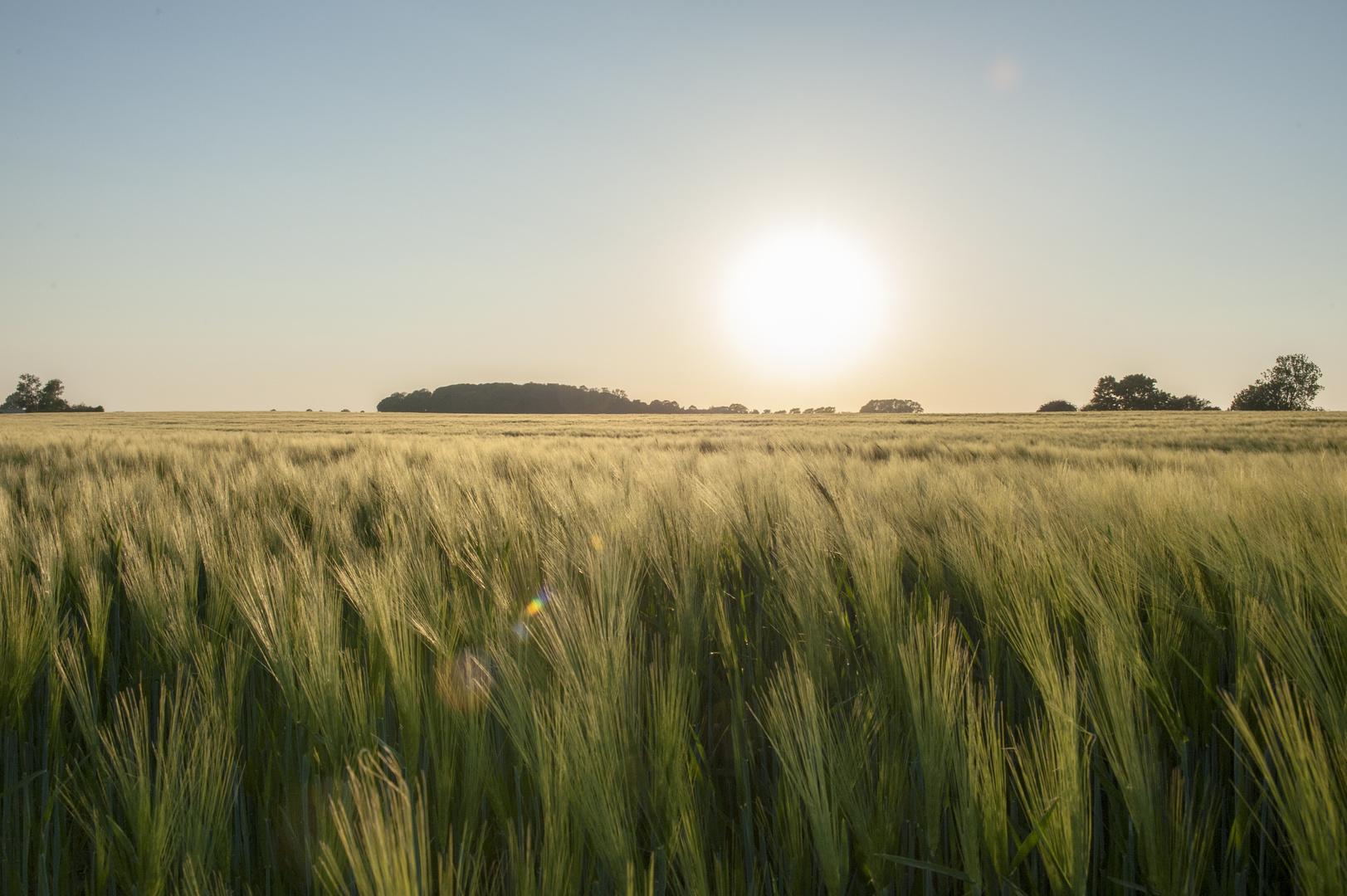 Getreidefeld Insel Rügen