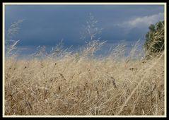 Getreidefeld  -Roggen-