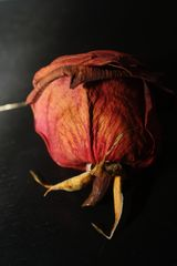 Getrocknete Rose