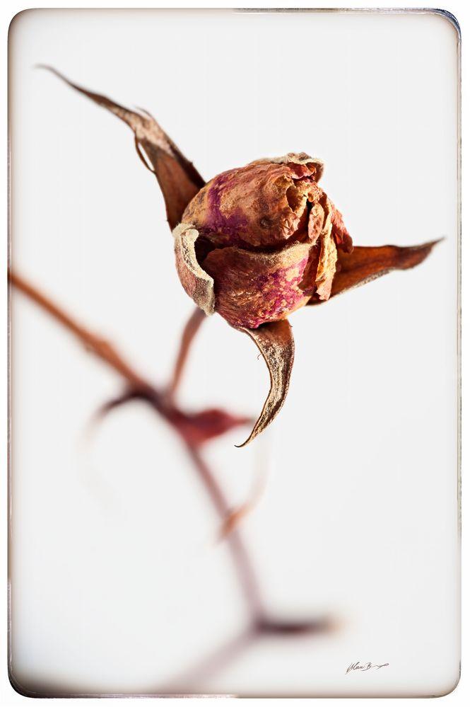 Getrockneter-Rosenstengel in Color