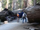 Gewaltige Bäume im Yosemite Nationalpark