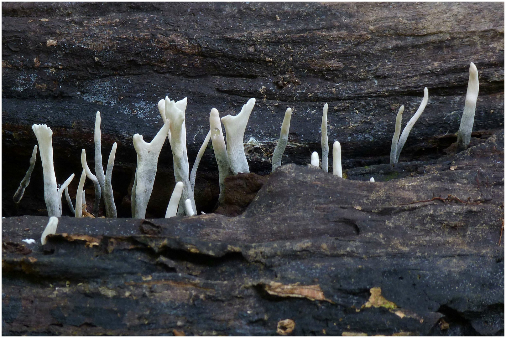 Gewihförmige Holzkeule
