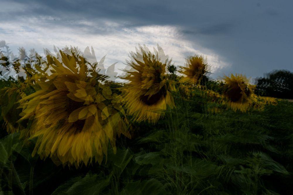 Gewitter bei den Sonnenblumen