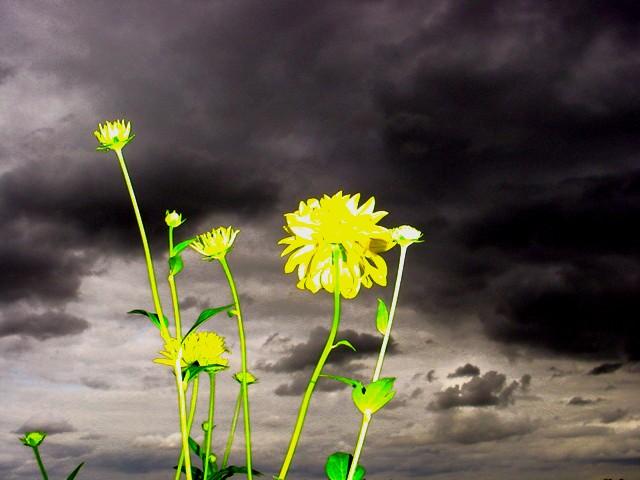 Gewitterblume
