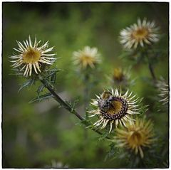 Gewöhnliche Golddistel (Carlina vulgaris)...