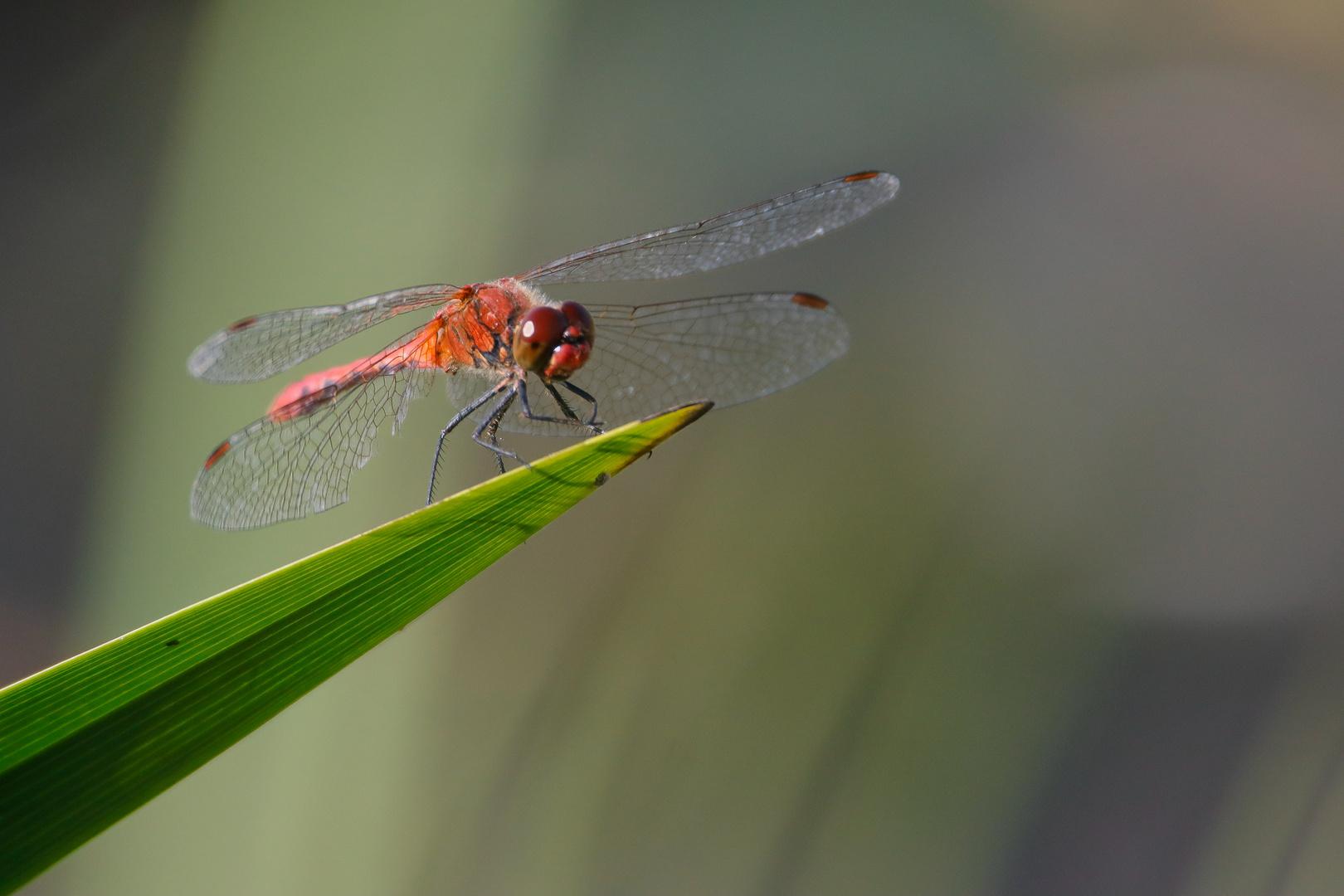 gewöhnliche Heidelibelle-0888