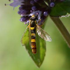 Gewöhnliche Langbauchschwebfliege (Sphaerophoria scripta), Männchen (I)