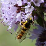 Gewöhnliche Langbauchschwebfliege (Sphaerophoria scripta), Männchen (II)