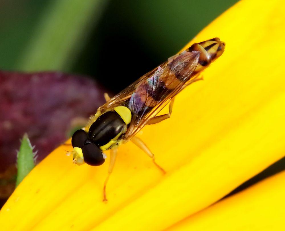 Gewöhnliche Langbauchschwebfliege (Sphaerophoria scripta), Männchen (III)