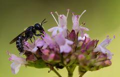 Gewöhnliche Löcherbiene (Osmia truncorum)