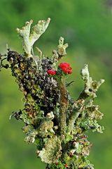 Gewöhnliche Scharlachflechte (Cladonia pleurota)