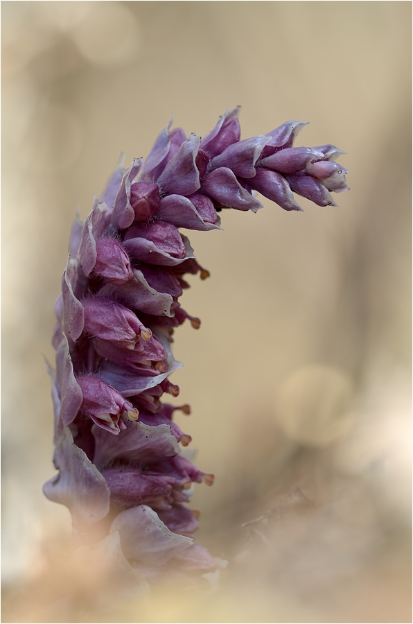 Gewöhnliche Schuppenwurz (Lathraea squamaria)