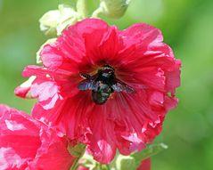 Gewöhnliche Stockrose und Blaue Holzbiene -1-