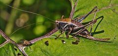 Gewöhnliche Strauchschrecke mit Fliege!