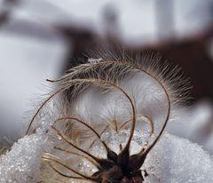 Gewöhnliche Waldrebe (Clematis vitalba) im Winter.