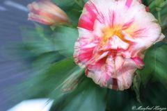 """gezoomte"" Rose :-))"