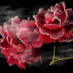 gezuckerte Rosen