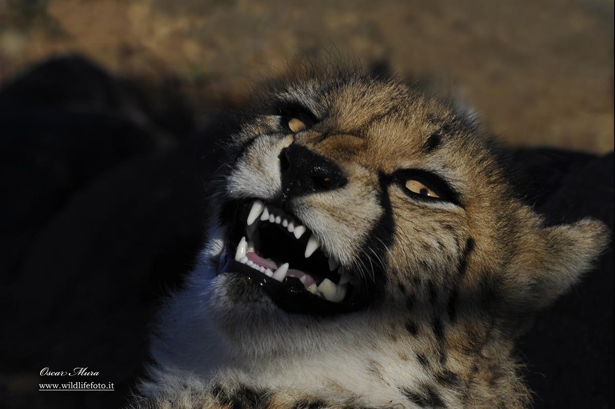 Ghepardo #namibia workshop fotografico di Oscar Mura https://www.wildlifefoto.it/