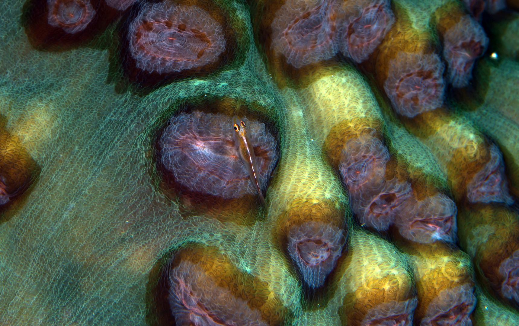 Ghiozzo dei coralli duri