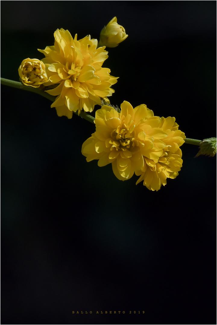 Giallo (Flora)