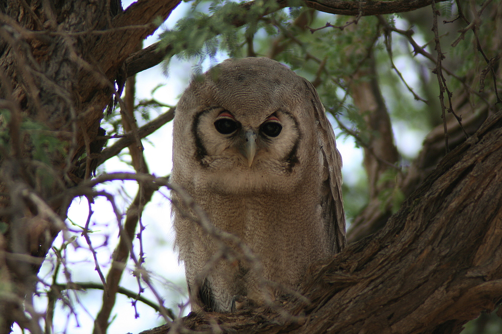 Giant Eagle-Owl