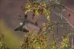Giant Hummingbird (Patagonas gigas)