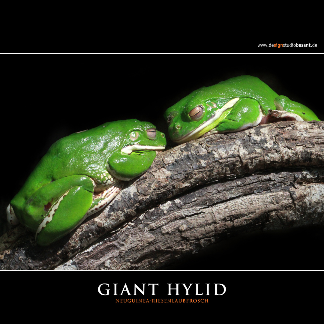 GIANT HYLID