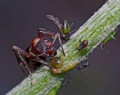 Gib mir noch mehr vom süssen Honigtau! - La fourmi attend son brevage délicieux! Photo 1