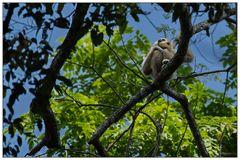 Gibbon im Dschungel