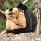 Gibbons Lass uns kuscheln !!