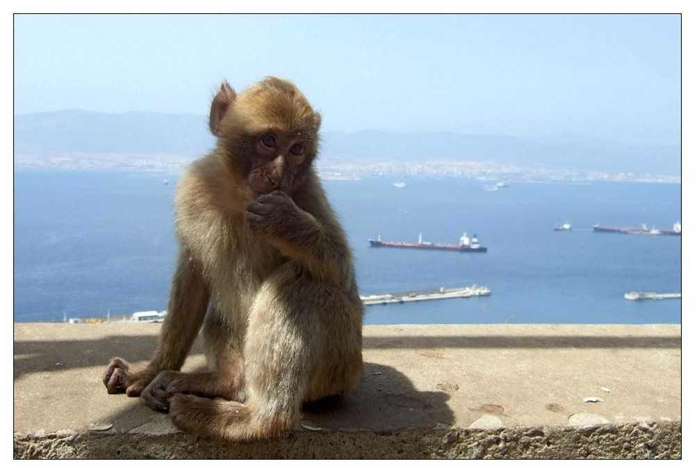 Gibraltar-Äffchen