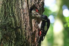 Gierig schluckt der Jungvogel die Nahrung herunter - Buntspecht