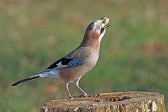 Gierig schuckt der Eichelhäher die Erdnuss