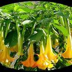 Giftige Blütenpracht