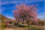 Gimmeldinger Mandelblüte 4