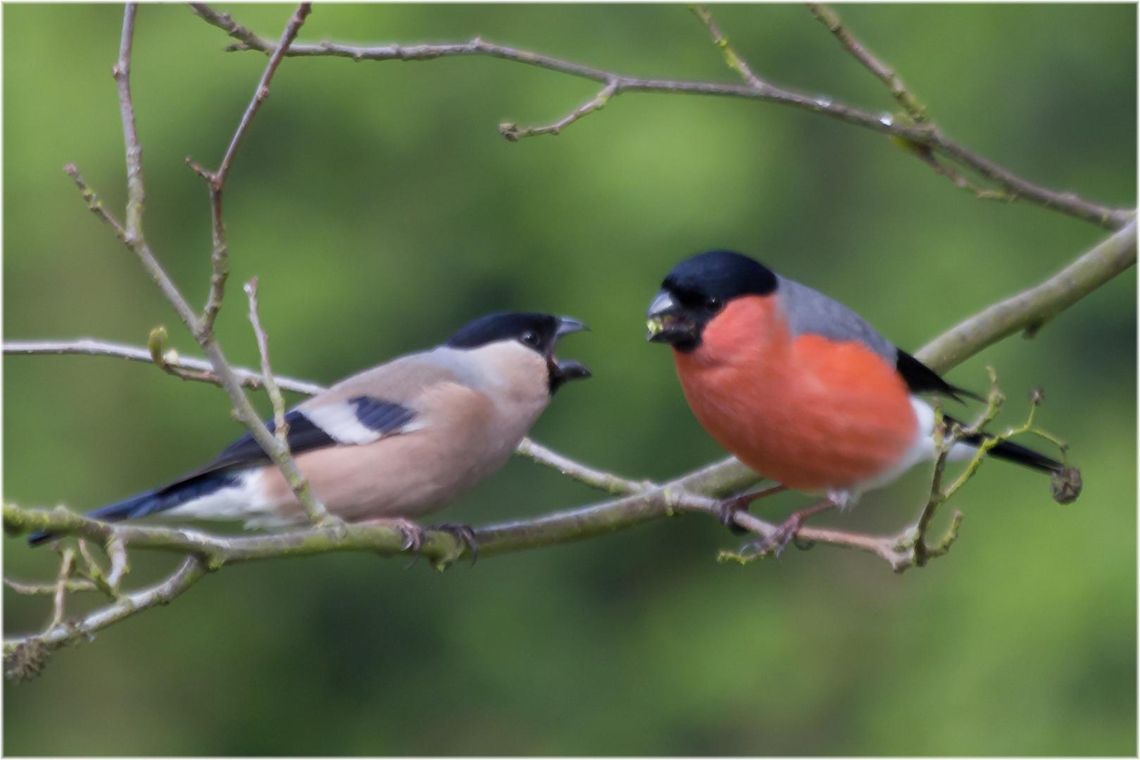 Gimpel Life Foto & Bild  natur, tiere, vögel Bilder auf fotocommunity