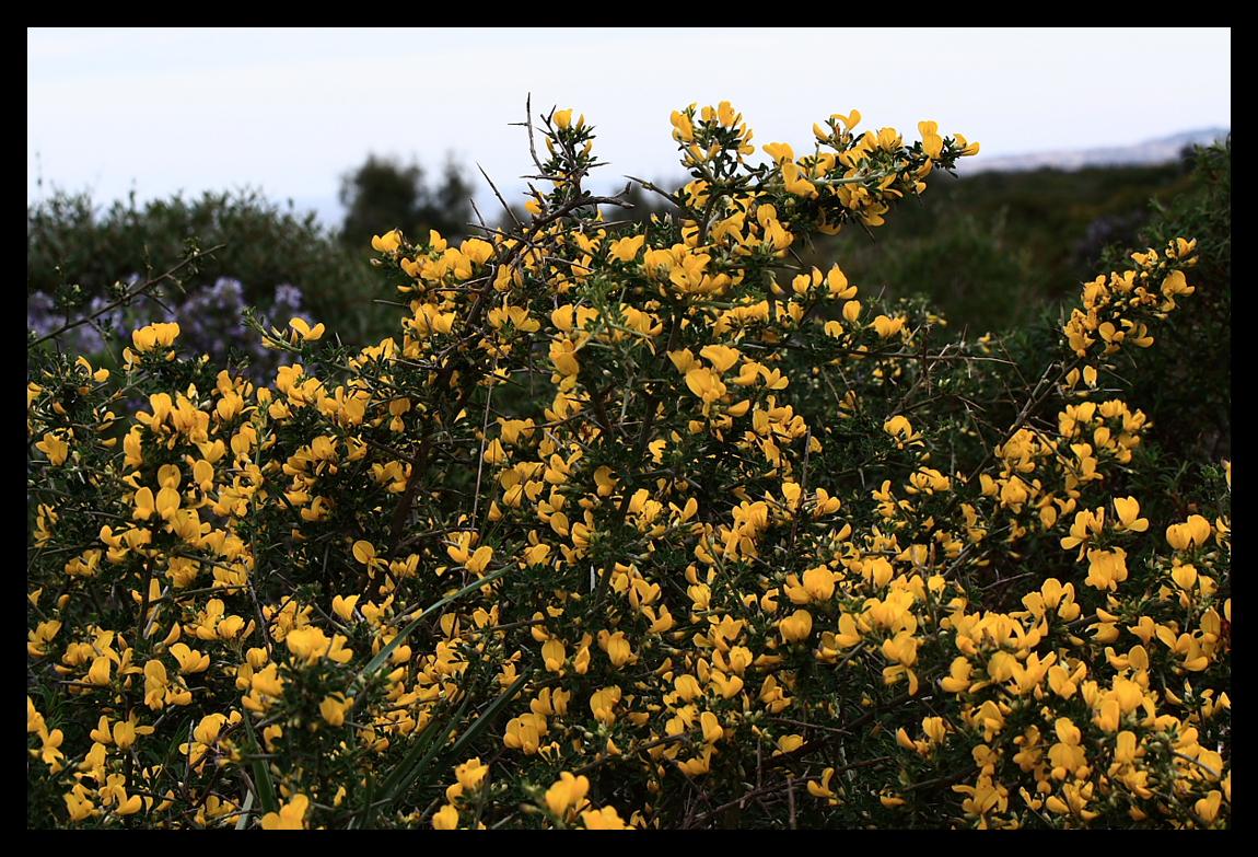 Ginestra in fiore