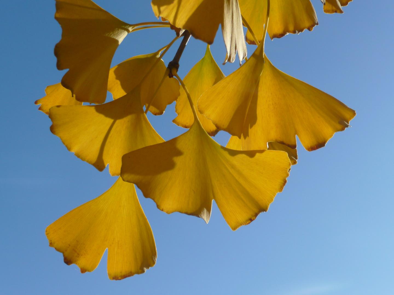 Gingko im Herbst