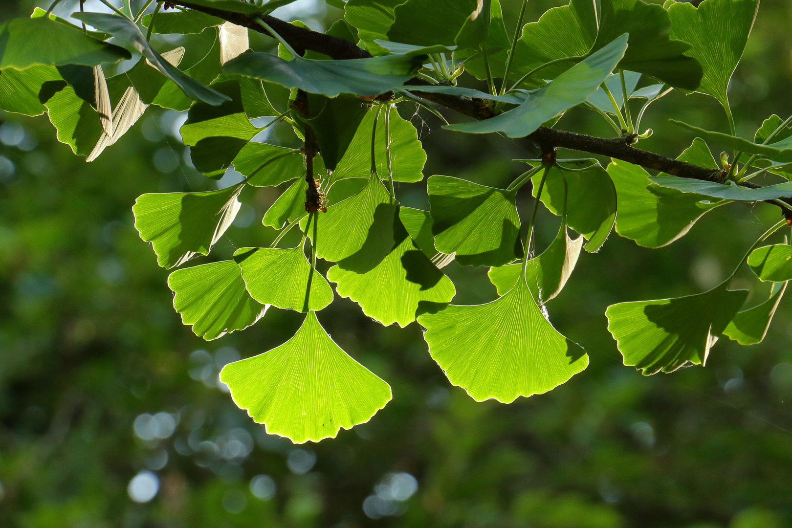 Gingko Tree I