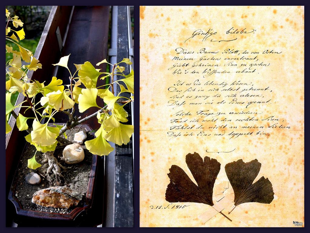 ginkgo bonsai im herbstkleid foto bild pflanzen pilze. Black Bedroom Furniture Sets. Home Design Ideas