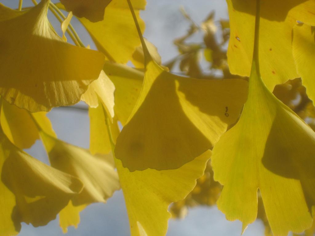 Ginkgo Herbstgold