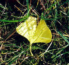 ginkoblatt im herbst