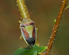 Ginster-Baumwanze (Piezodorus lituratus) - Une petite beauté pas très aimée…