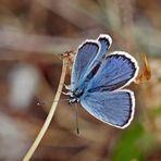 Ginster-Bläuling (Idas Blue)