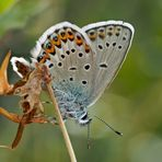 Ginster-Bläuling (Idas Blue) - Azuré du genêt (Plebejus idas).