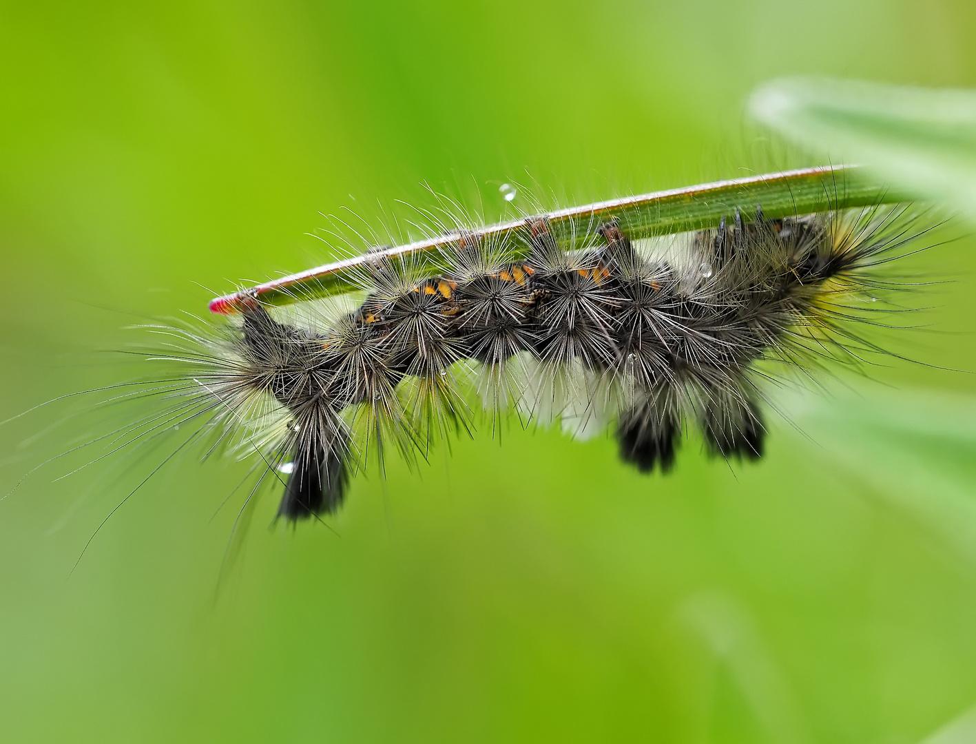 Ginster-Streckfuß, Rötlichgrauer Bürstenspinner (Dicallomera fascelina)