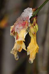 Ginsterblüte unter Eis