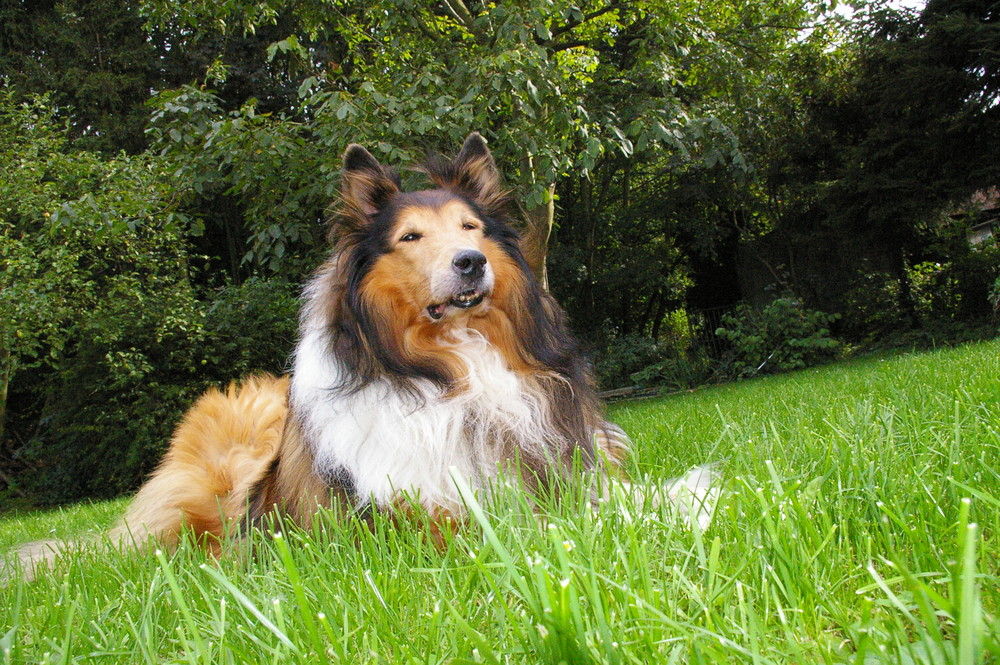 Gipsy :) Mein alter Collie...