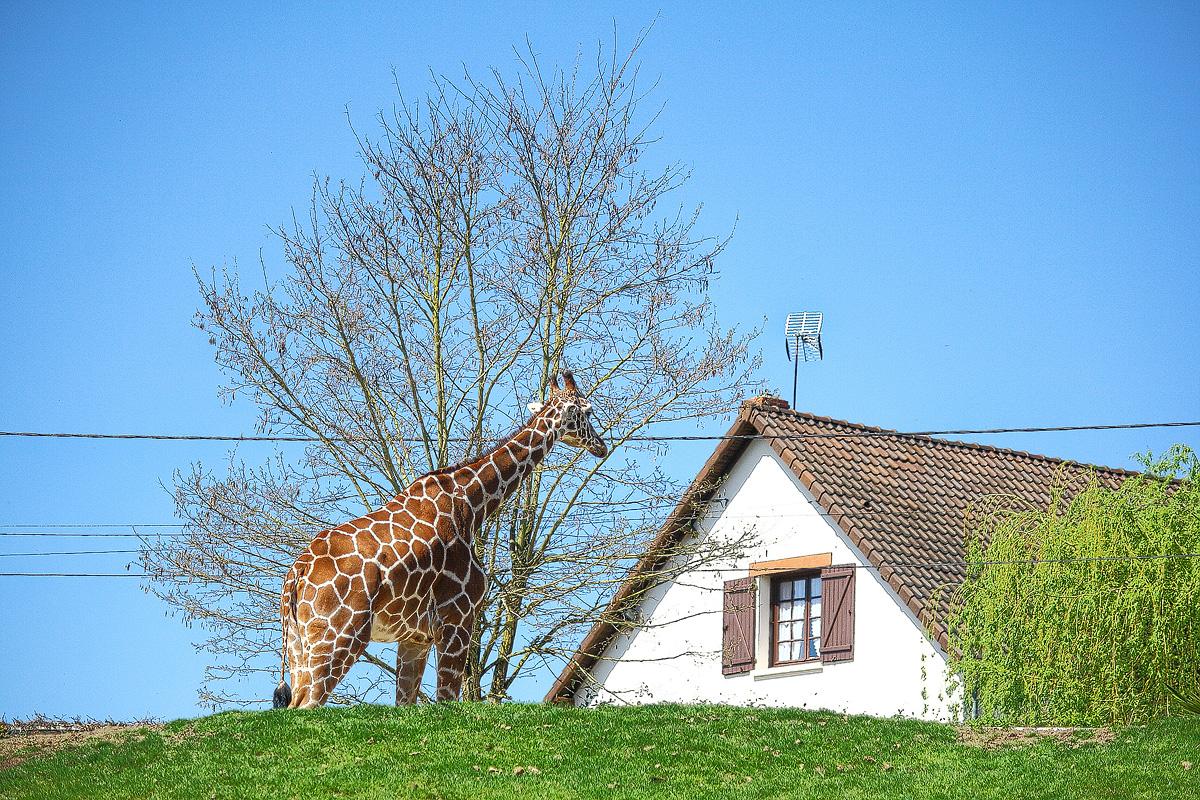 Girafe dans le jardin